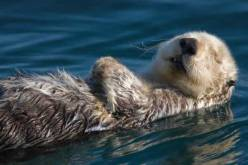 loutre-mer-100